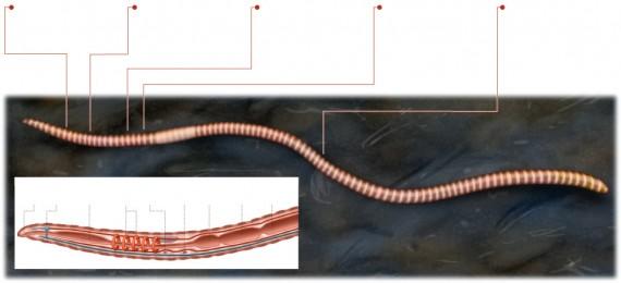 earthworm-regeneration